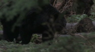 Stock Video Footage of Black Bear Roaming 2