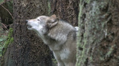 Gray Wolf Howling 02 Stock Footage