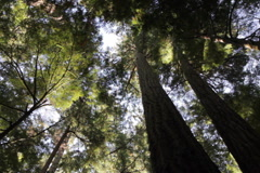 Old growth forest. SD. Stock Footage