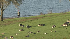 Canada Geese, Wigeon and an angler at Rutland Water. Stock Footage