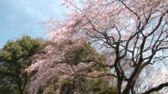 Cherry blossom Tokyo Ueno park Hanami cherry blossom wide panoramic shot Stock Footage