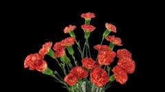 Time-lapse of growing red Dianthus flower 3b Stock Footage