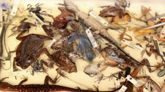 Preserved specimens of reptiles and amphibians - stock footage