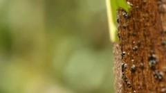Stock Video Footage of Leaf Cutter Ants (Atta sp.)