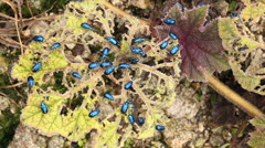 Leaf beetles (Chrysomelidae) defoilating a Gunnera plant Stock Footage