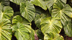 Leaves of a giant arum in the rainforest understory, Ecuador - stock footage