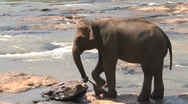 Stock Video Footage of Elephants playing with towel in river, Sri Lanka