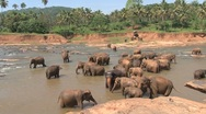 Stock Video Footage of Elephants taking a bath in river, Sri Lanka
