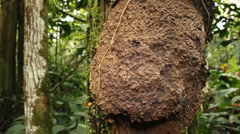 Termite nest on a tree trunk in rainforest, Ecuador Stock Footage