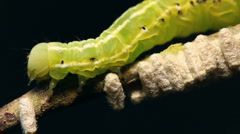 Caterpillar parasitized by an  Ichneumon wasp Stock Footage