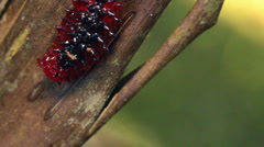 A red slug caterpillar (Limacodidae) - stock footage
