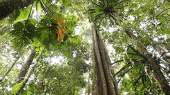 Large tree with buttressed roots in primary tropical rainforest Stock Footage