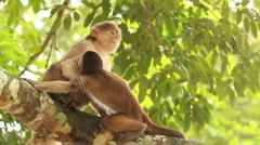 Stock Video Footage of White-fronted Capuchin Monkeys (Cebus albifrons)