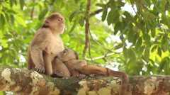 White-fronted Capuchin Monkeys (Cebus albifrons) - stock footage