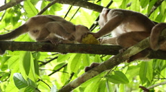 White-fronted Capuchin Monkeys (Cebus albifrons) Stock Footage