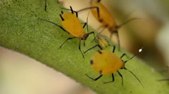 Oleander Aphids (Aphis nerii) Stock Footage