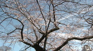 Cherry Blossom inTokyo Ueno park foliage medium shot Stock Footage