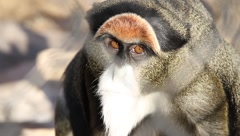 Unhappy monkey Stock Footage