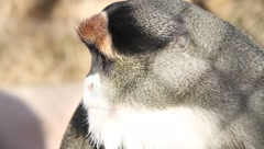 Monkey through chain link fence Stock Footage