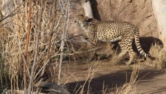Leopards 4 Stock Footage