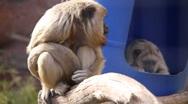Monkeys having fun Stock Footage
