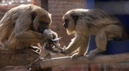 Monkeys reading newspaper Stock Footage