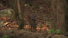 Deer in the Woods 2 Stock Footage