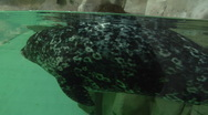 Seal playing with his tail Stock Footage
