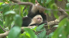Capuchin Monkeys in the wild Stock Footage