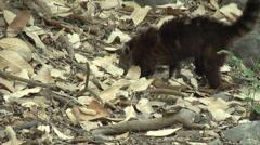HD wild Ring-tailed Coati injured (Nasua nasua) 3 in the wild   Stock Footage