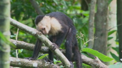 Capuchin Monkey in the wild Stock Footage