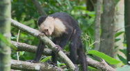 Stock Video Footage of Capuchin Monkey in the wild