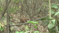 HD wild Ring-tailed Coati (Nasua nasua) in the wild 2  Stock Footage