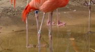 Stock Video Footage of flamingos 0001KR