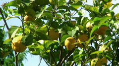 Stock Video Footage of Lemon Tree, detail