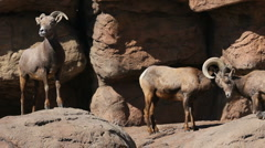 Bighorn Sheep And Squirrel Stock Footage