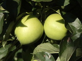 Two apples in the tree Stock Footage