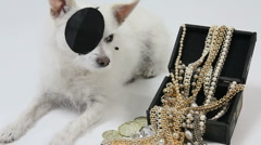 Dog Buccaneer Wears Eye Patch Watches Over Treasure - stock footage