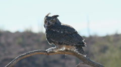 Great Horned Owl Stock Footage