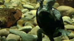 Sea turtle 0063VS Stock Footage