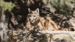Stock Video Footage of Mountain Lion Shade