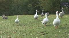 Greylag Geese - hybrids from cross between wild and domesticated birds. Stock Footage