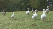 Stock Video Footage of Greylag Geese - hybrids from cross between wild and domesticated birds.
