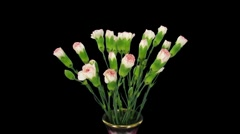 Time-lapse of growing pink white Dianthus flower 1 Stock Footage