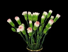 Time-lapse of growing pink white Dianthus flower (Film 2K) 1a Stock Footage