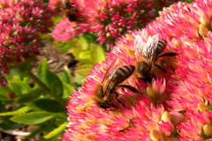 Bees honey gathering Stock Footage