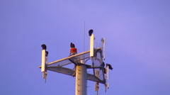 Buzzards on cell phone tower Stock Footage