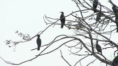 Cormorants perch in tree. Stock Footage