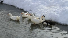 Ducks In The Snow 01 Stock Footage