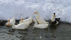 Ducks In The Snow 02 Stock Footage